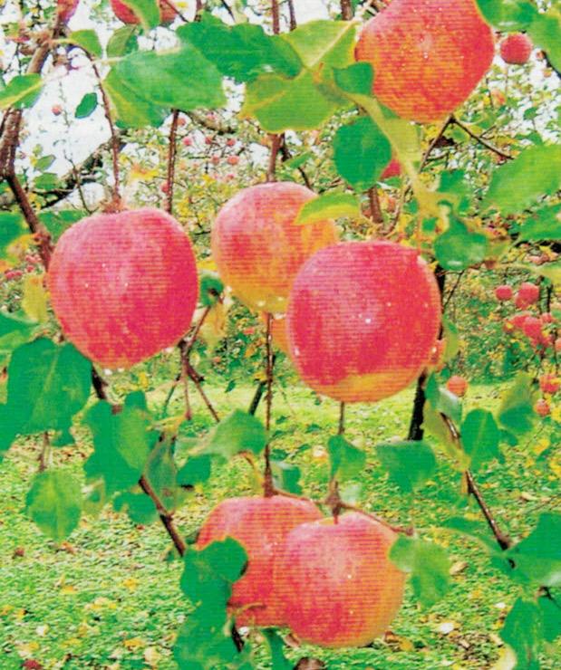 HB-101で素晴らしいリンゴが収穫できます。