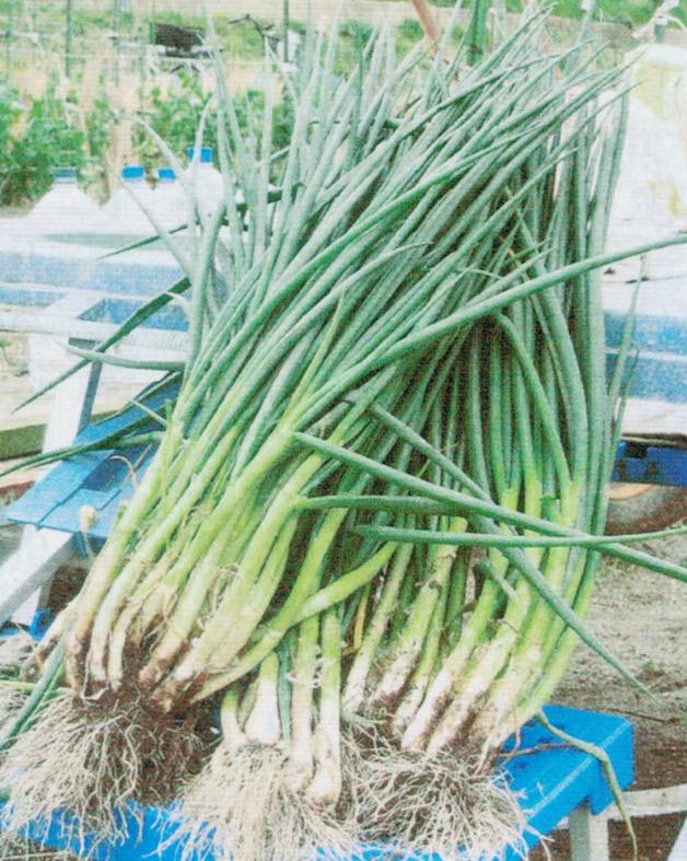 HB-101で分葱の発育が良いです。