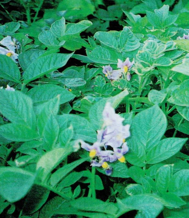 HB-101でたくさんの花が咲いてくれます。