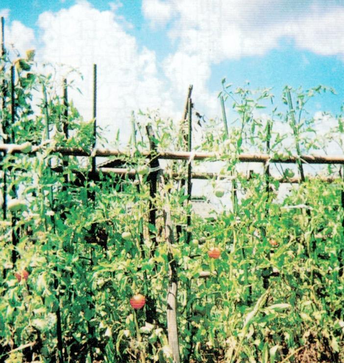 顆粒HB-101でトマトがたくさん収穫出来ます。