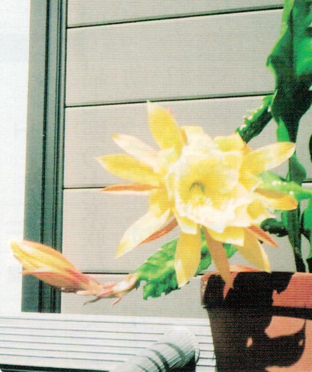 HB-101でクジャクサボテンに立派な花が咲きました。