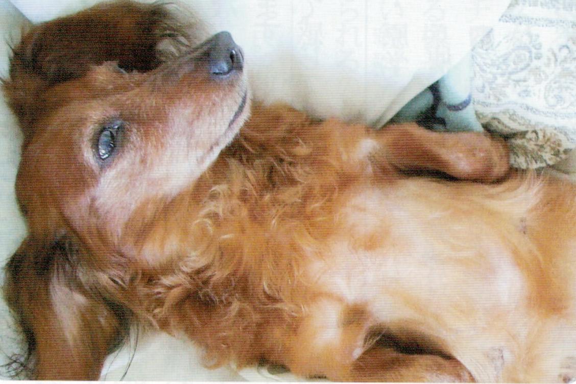 ニャンケンポンで犬は元気に小走りが出来る程になり、毛もフワフワになりました。