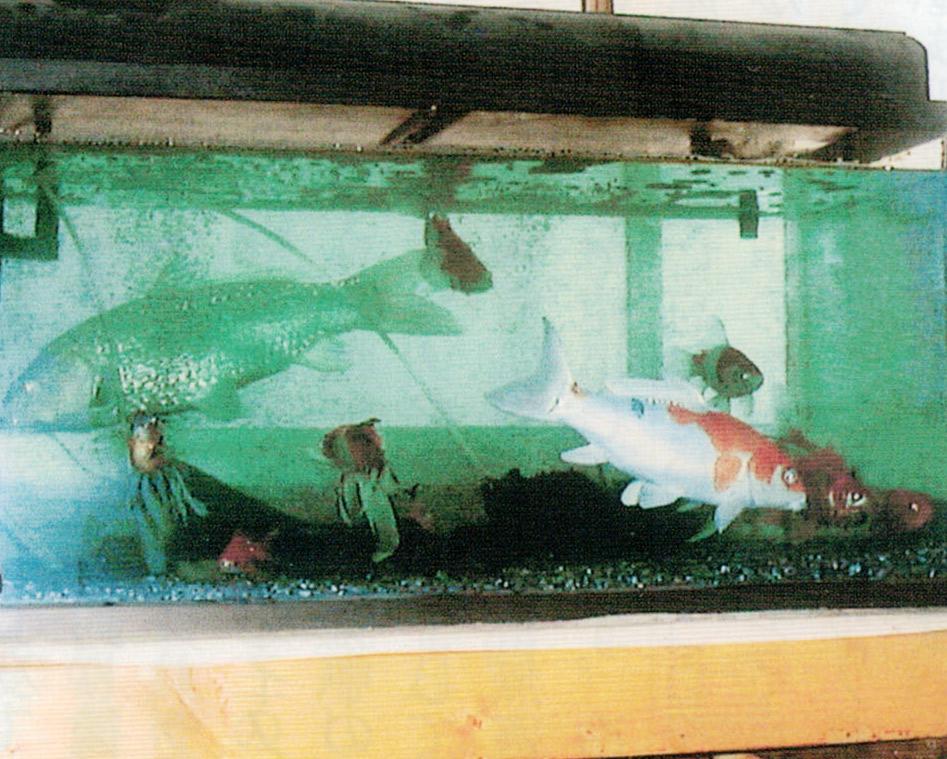 HB-101とニャンケンポンを与えて魚が元気になりました。