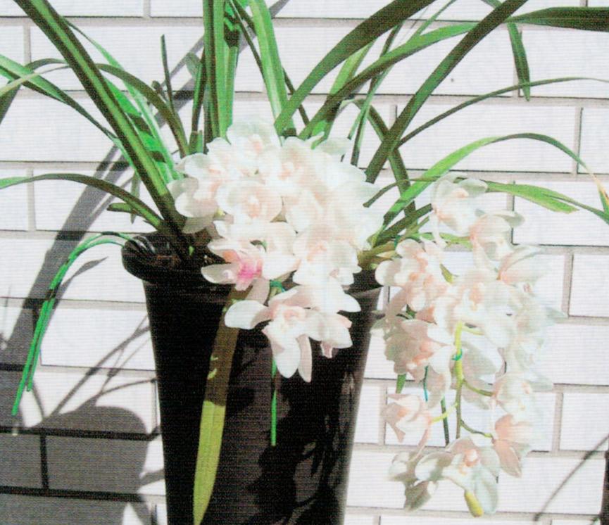 HB-101でシンビジウムのサラジーンアイスキャスケードに花が咲きました。