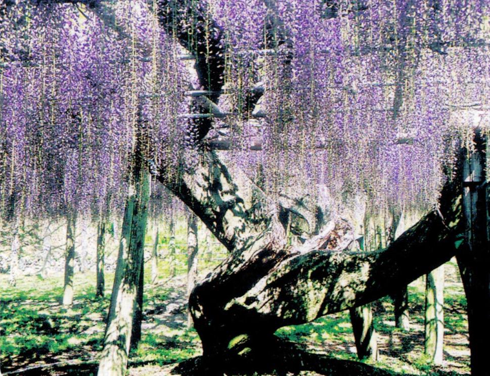 樹齢約100年の弱っていた野田長藤の巨木がHB-101で花の色艶が良くなり、花の長さが長くなっています。