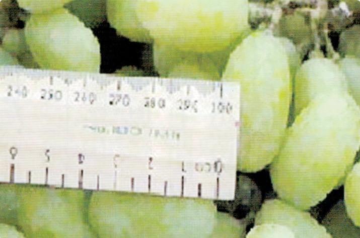 HB-101で糖度が上がり、1粒が1.5倍に大きくなっています。