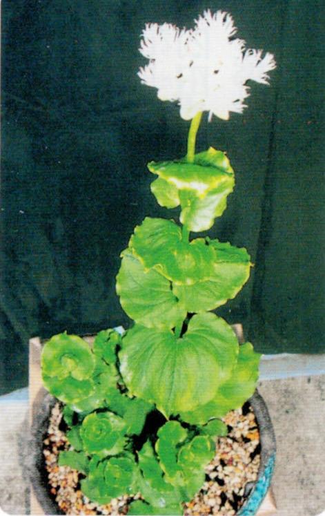 HB-101と顆粒HB-101で綺麗に咲きます。