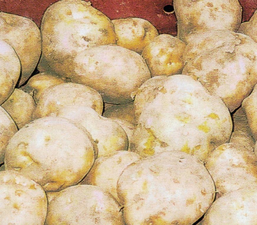 HB-101につけて植えましたら、見事な馬鈴薯が出来ました。