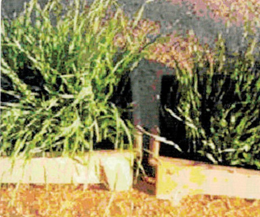 小麦がHB-101を使う事で素晴らしく生長します。左はHB-101を使用した苗、右は未使用苗です。