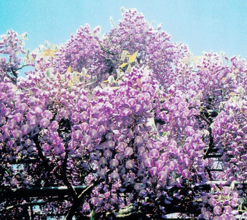 HB-101で色鮮やかな藤が咲きます。