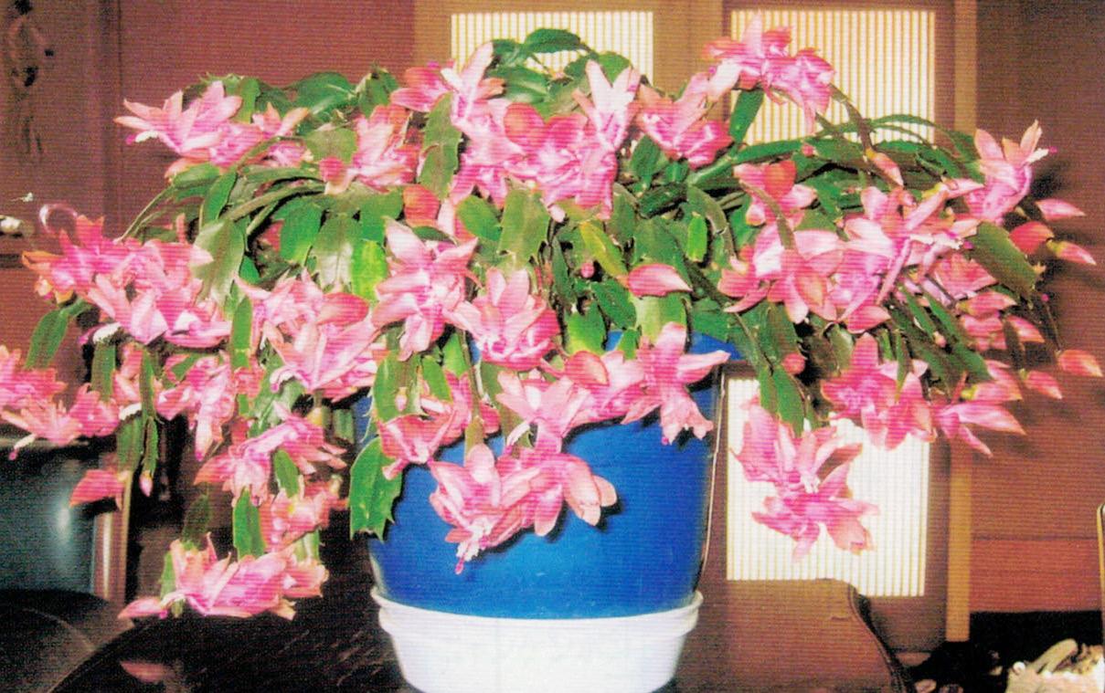 HB-101でシャコバサボテンが綺麗に咲きました。