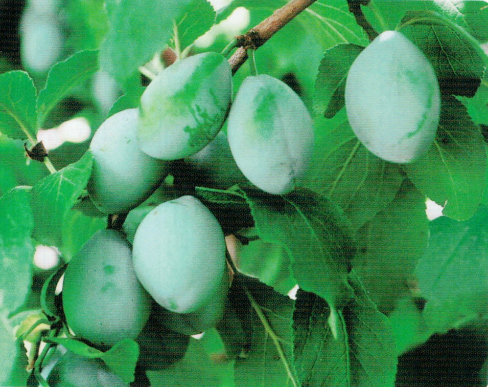 白HB101は白カビ病、ウドンコ病、アブラムシ、ダニ、スリップスに力を発揮します。