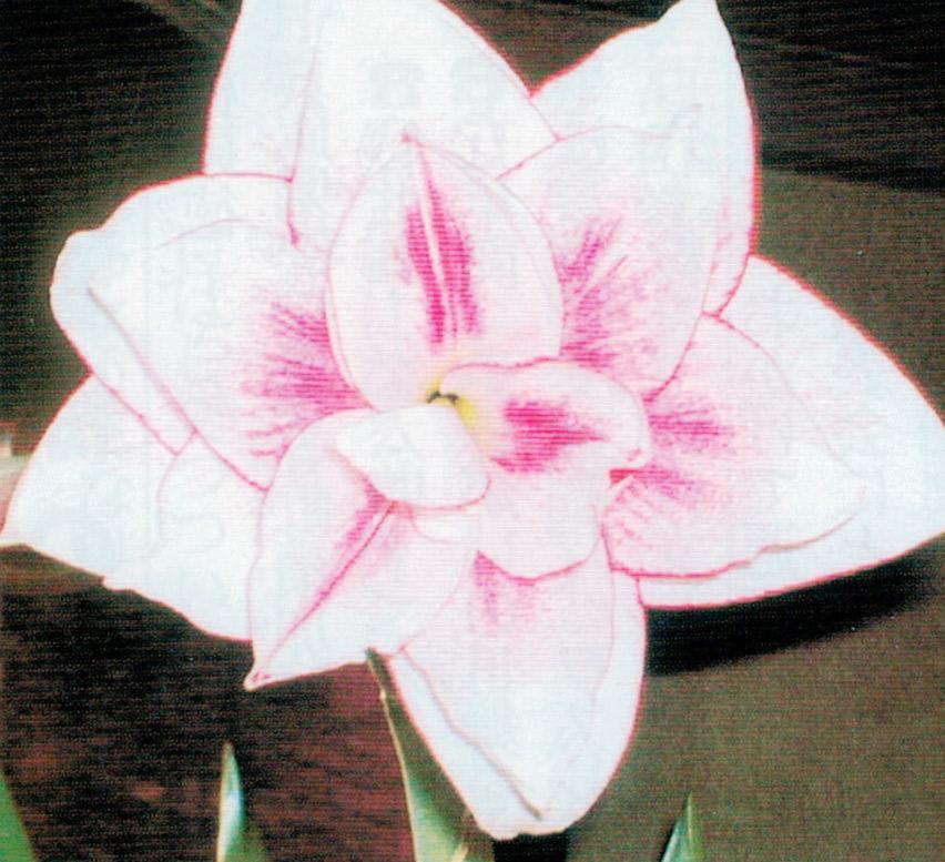 HB-101で繊細な色の花が綺麗に咲いてくれます。