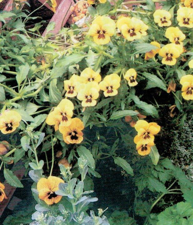 HB-101のおかげで、我が家の庭は花が絶えません。