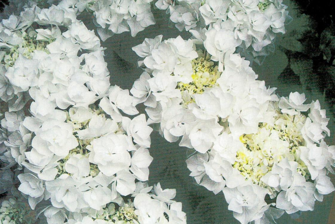 HB-101のおかげで、大きくて立派な花が咲きます。