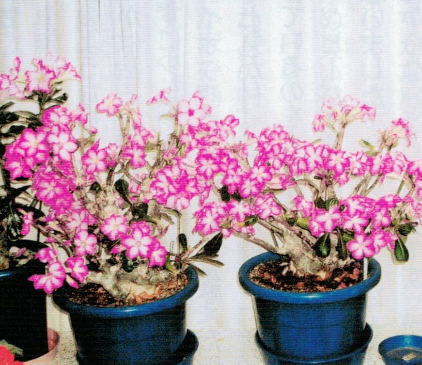 HB-101でアデニウムにたくさんの花が咲いています。
