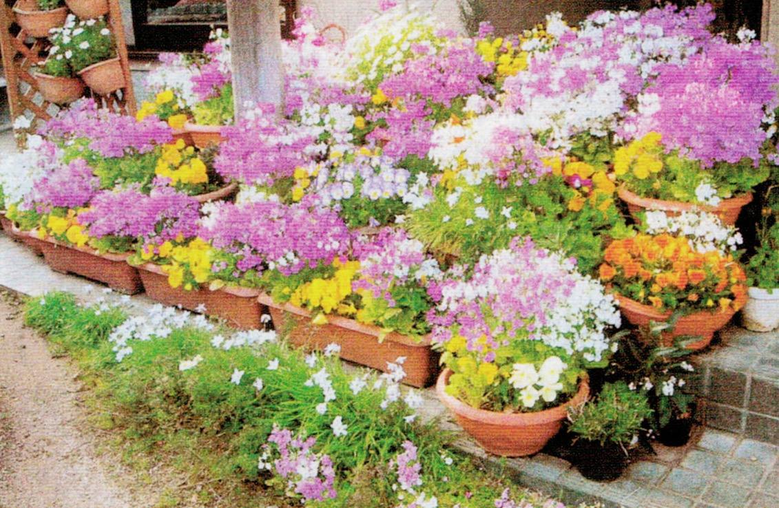 HB-101で育てた花は市役所、学校、商工会、消防署、福祉センター、銀行などに配布しています。