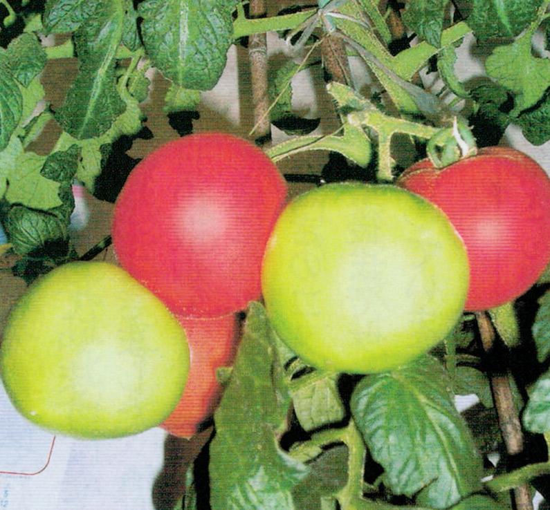 HB-101のおかげで1本の苗で20個のトマトがとれました。