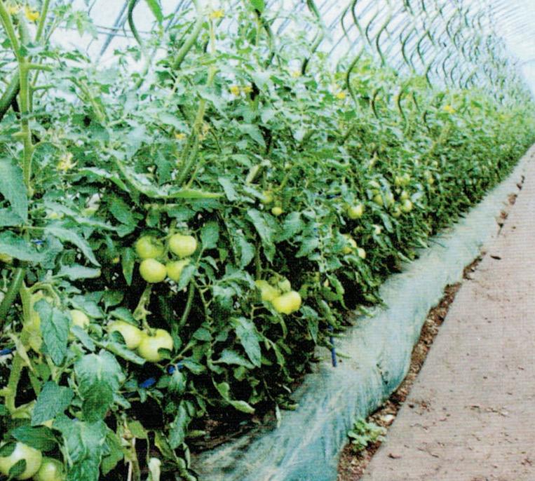 HB-101で竹棒が50cm〜60cm刺さるほど土壌が軟らかくなり、糖度が高く、おいしいトマトが生産出来ます。
