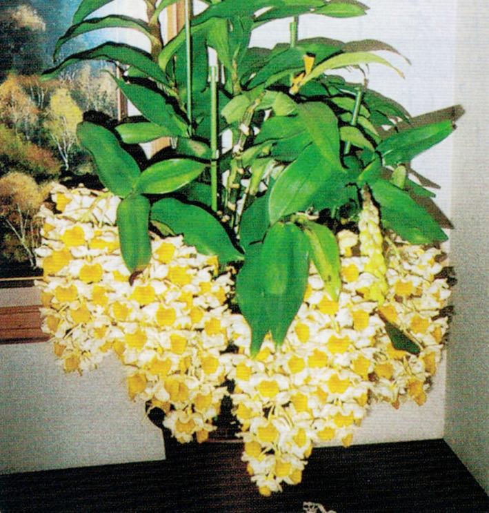 HB-101のおかげでシルシフローラムが10個の蕾を付け、見事に咲いてくれました。