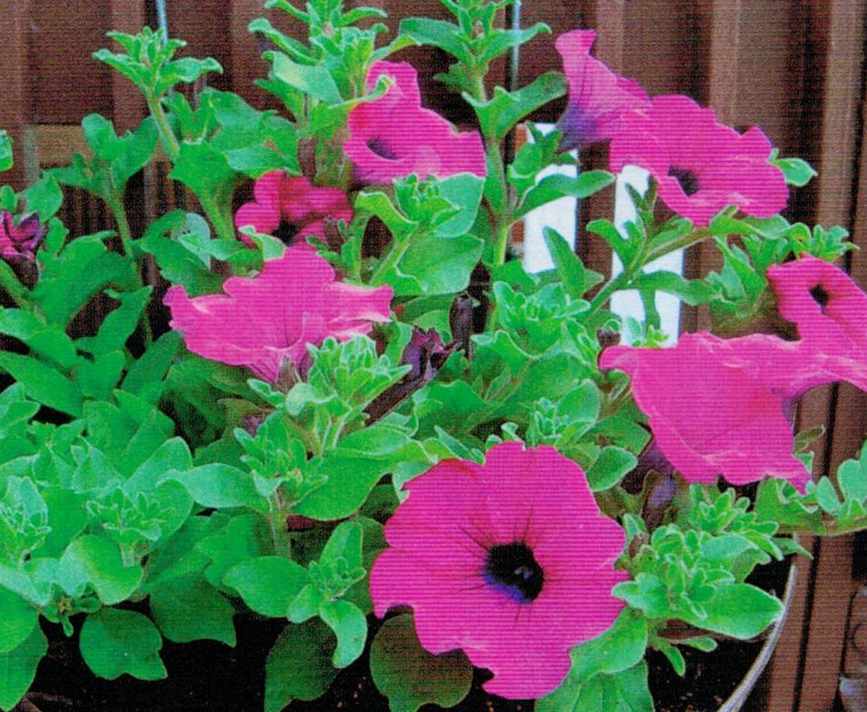 HB-101でサフィニアが美しい色で花を咲かせてくれました。