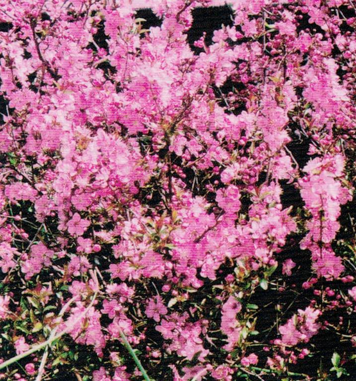 HB-101で庭梅の花がとても綺麗に咲きます。