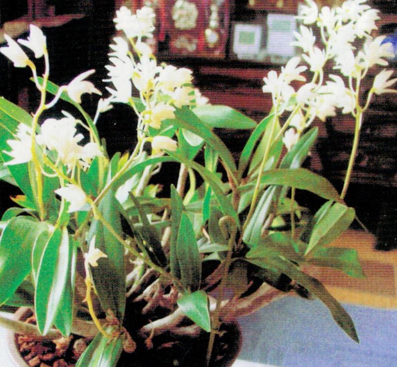 HB-101と顆粒HB-101で蘭が見事に咲き、部屋は甘い香りに包まれています。
