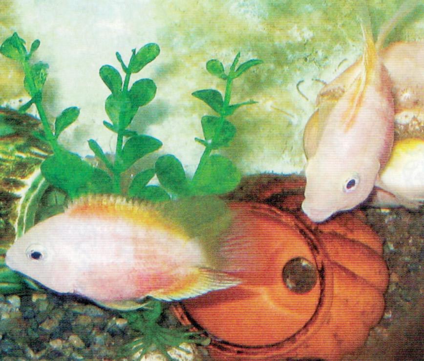 HB-101で熱帯魚が病気ひとつしないで元気に泳ぎ回っています。