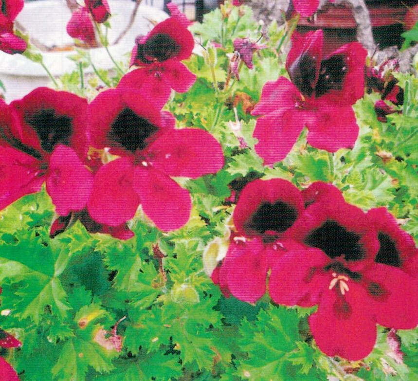 HB-101で花の色が良く、綺麗に長く咲き続けます。