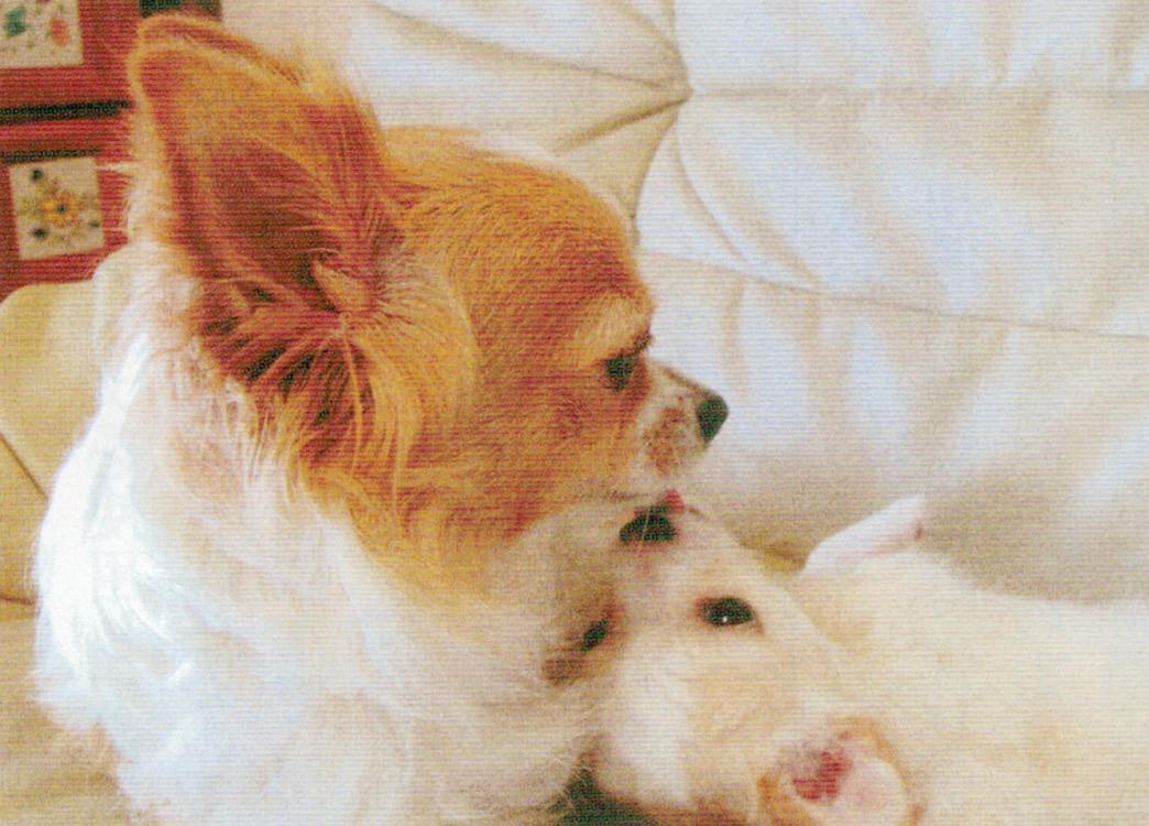 HB-101とニャンケンポンのおかげで愛犬のチワワの生後5ヶ月の息子の「うぶ」と、5歳の母親「アリ」は毎日元気です。