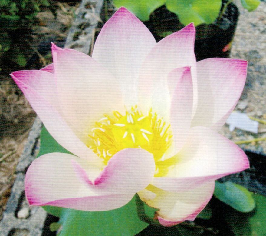 顆粒HB-101でハスの花が見事に咲きます。