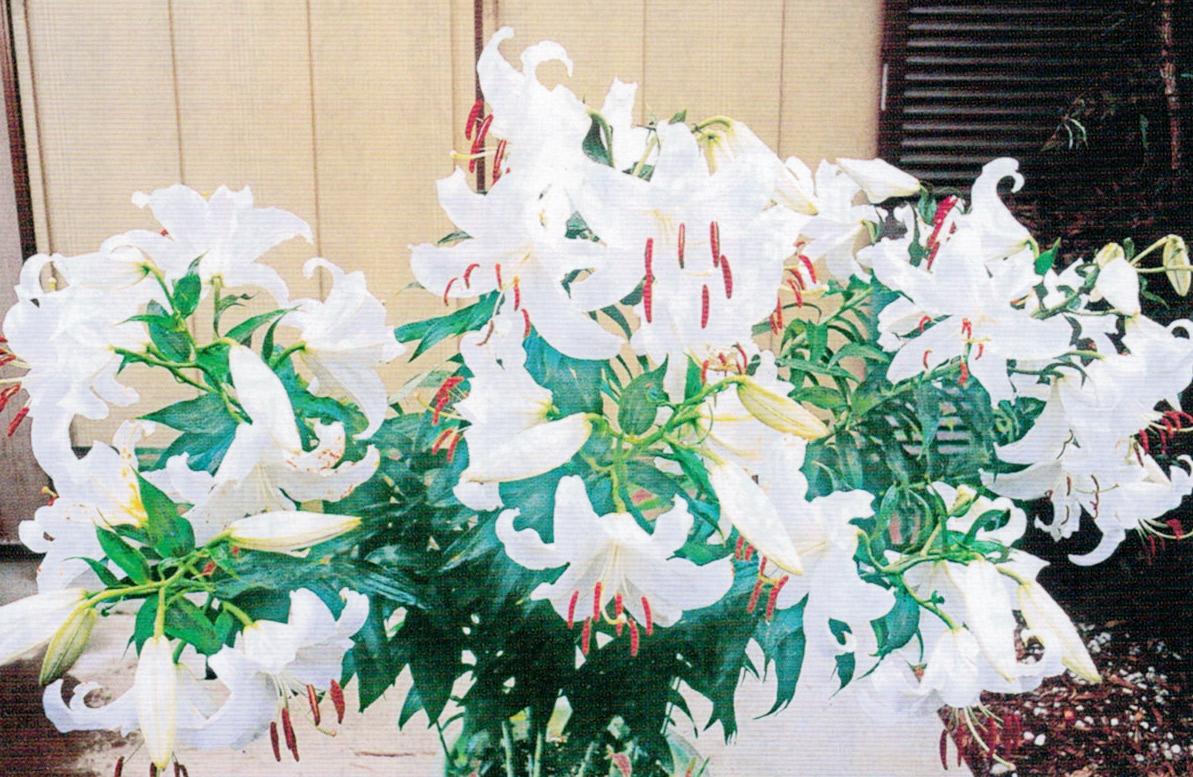 HB-101でカサブランカの花が60個ほど付きました。