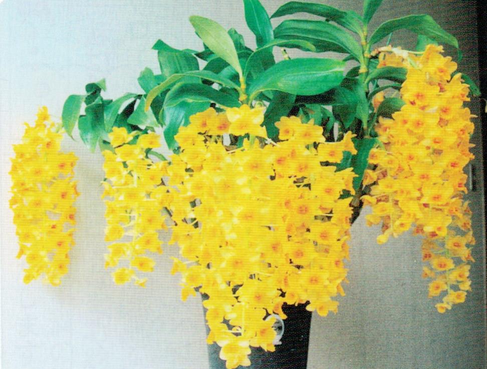 HB-101と顆粒HB-101で14本のデンシフローラムの花房がゴールデンシャワーのようになりました。