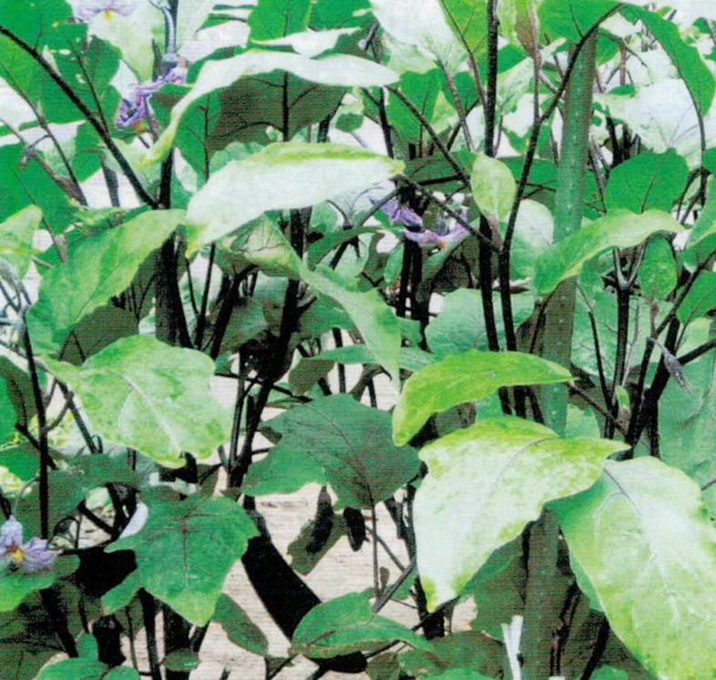 HB-101と顆粒HB-101のおかげでナスの葉と実が活き活きとしています。