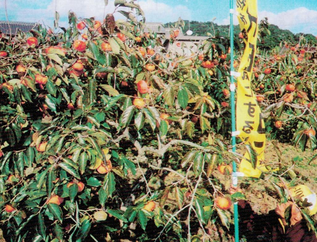 HB-101で柿を栽培しています。