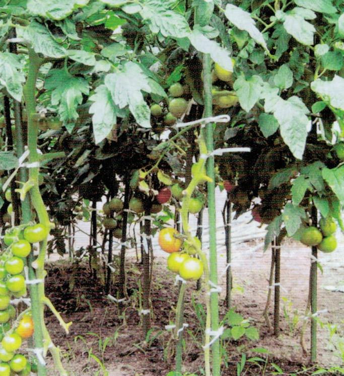HB-101と顆粒HB-101のおかげでトマトが実をしっかり付けています。