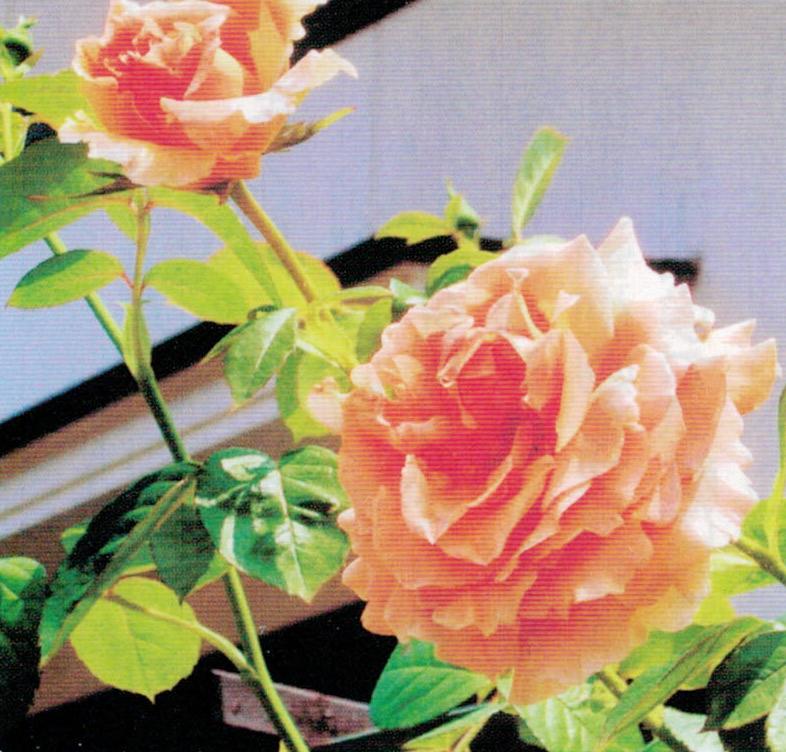 HB-101のおかげでバラの花が見事に咲き続けています。