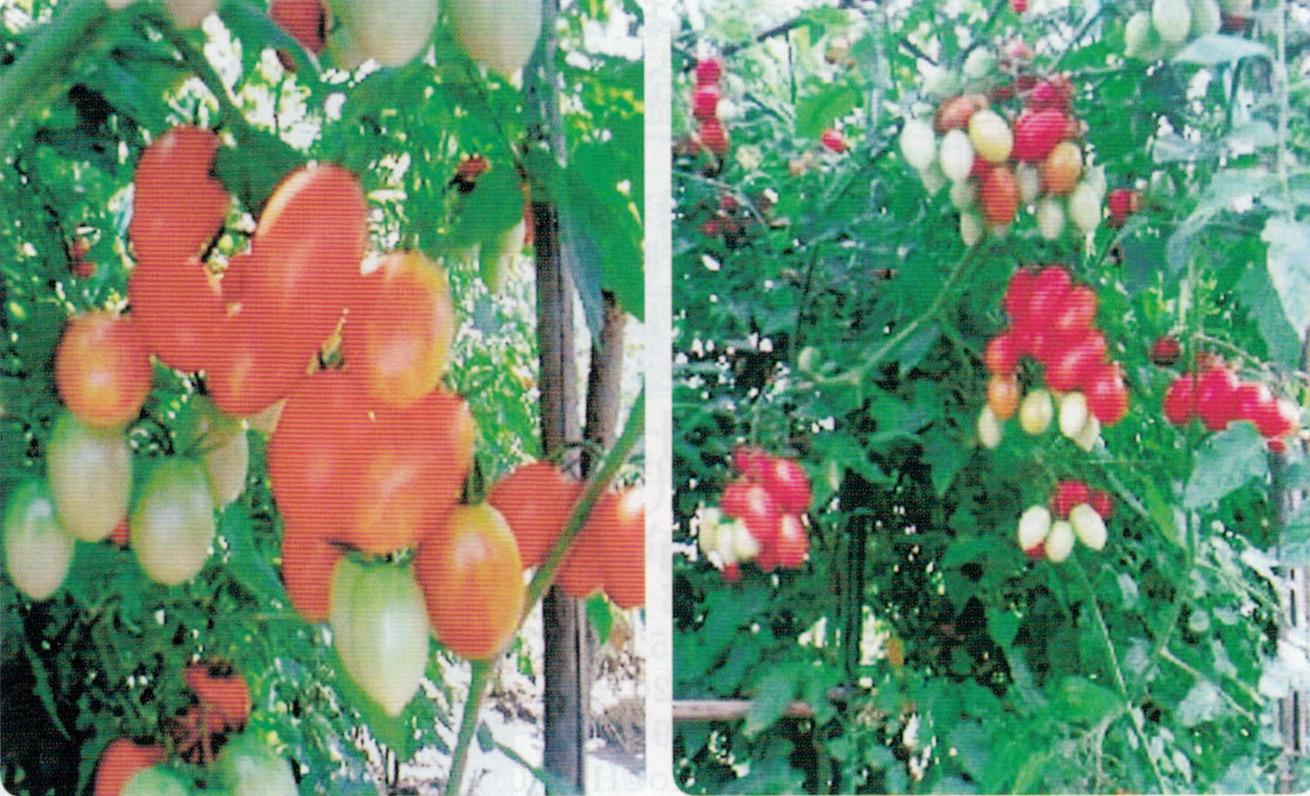 HB-101のおかげでトマトのアイコが立派に出来ました。