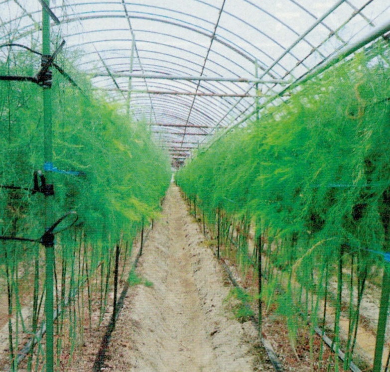 HB-101のおかげで年ごとにアスパラガスの立茎が良いです。