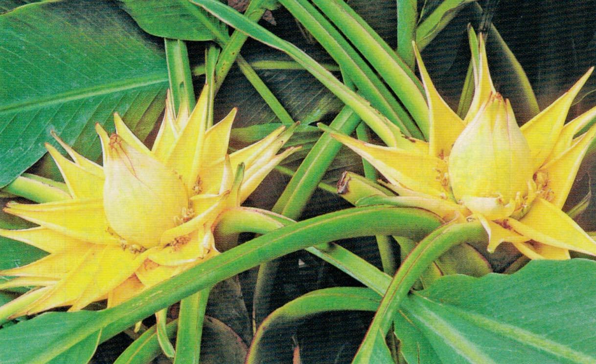 HB-101で何と1株に2つの花が咲きました。1株で2つ咲いたという話は聞いた事がありません。