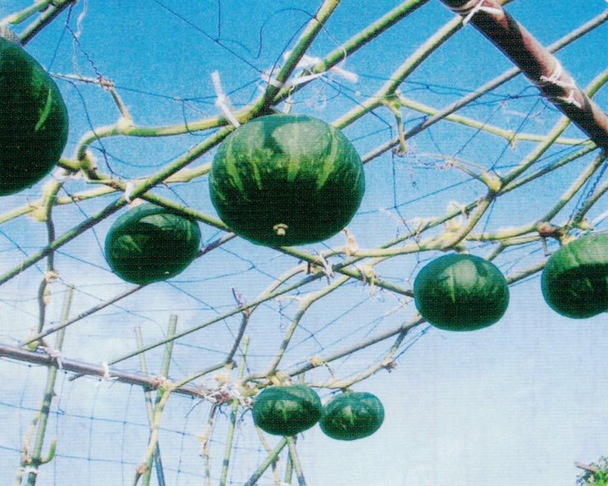 HB-101で1個2.5kgほどの大きなカボチャが12個も収穫できました。(空中栽培です。写真は収穫の2日前に葉を撤去した状態です。)