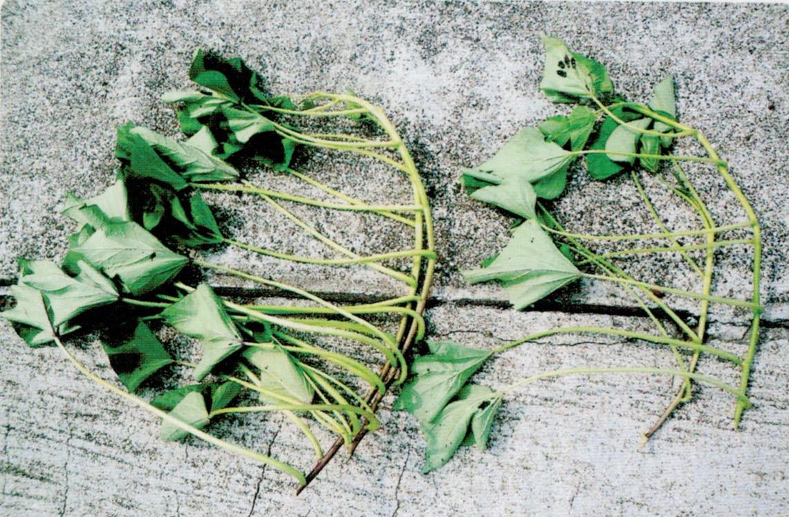 左はHB-101使用のサツマイモの苗です。茎がたくましく葉数も多いです。右はHB-101未使用の苗です。茎が細く、葉数が少なく弱々しいです。