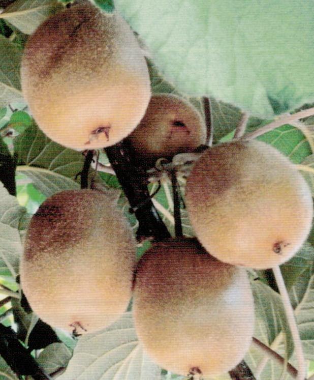 HB-101でキウイフルーツは、数多く実を付けても大粒で糖度が高いです。