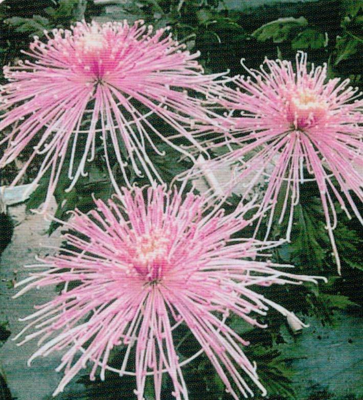 HB-101のおかげで見事な菊に仕上がります。