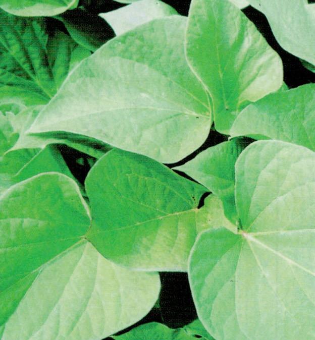 HB-101を使用してサツマイモの苗を作ると、茎が丈夫で葉が分厚く、害虫を寄せ付けません。