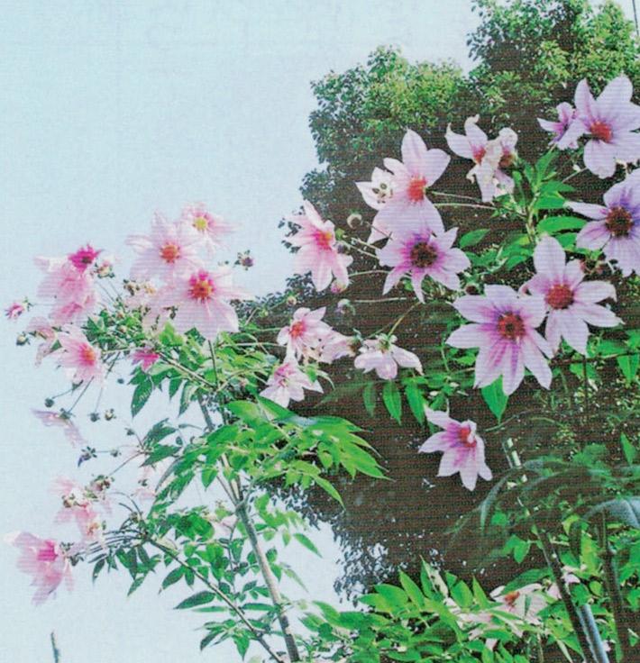 HB-101と顆粒HB-101で皇帝ダリアが綺麗に咲いています。