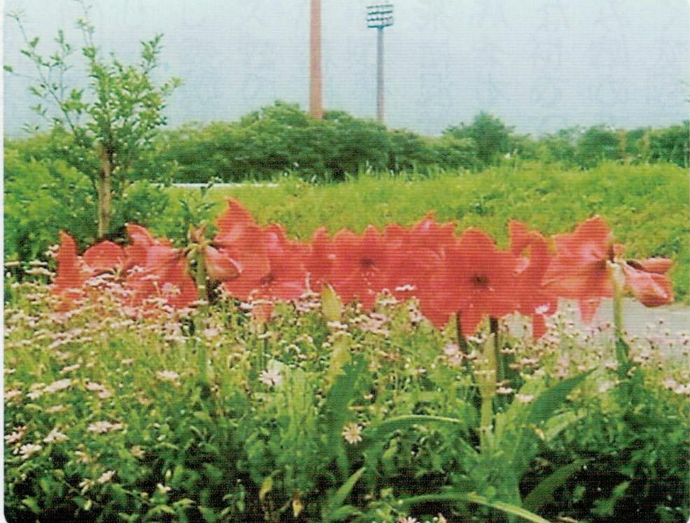 HB-101のおかげで花の咲き始めが早く、咲き終わりが遅く、花の美しさを長期間たのしませてもらっています。