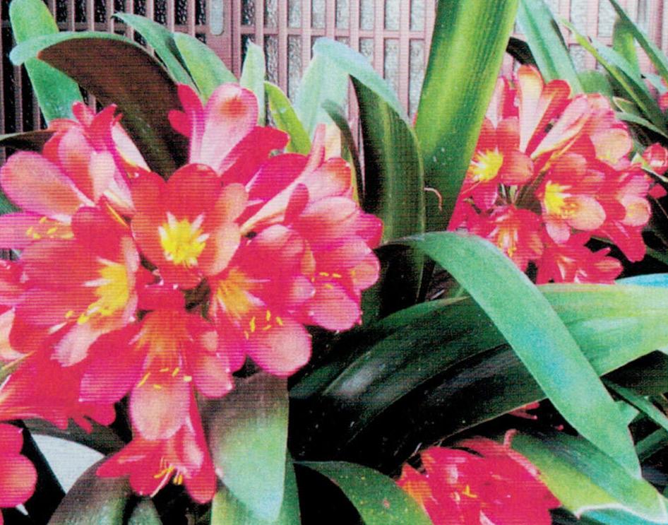 HB-101のおかげで1鉢に7本ずつ花が咲き、花の色艶が良く、見事です。