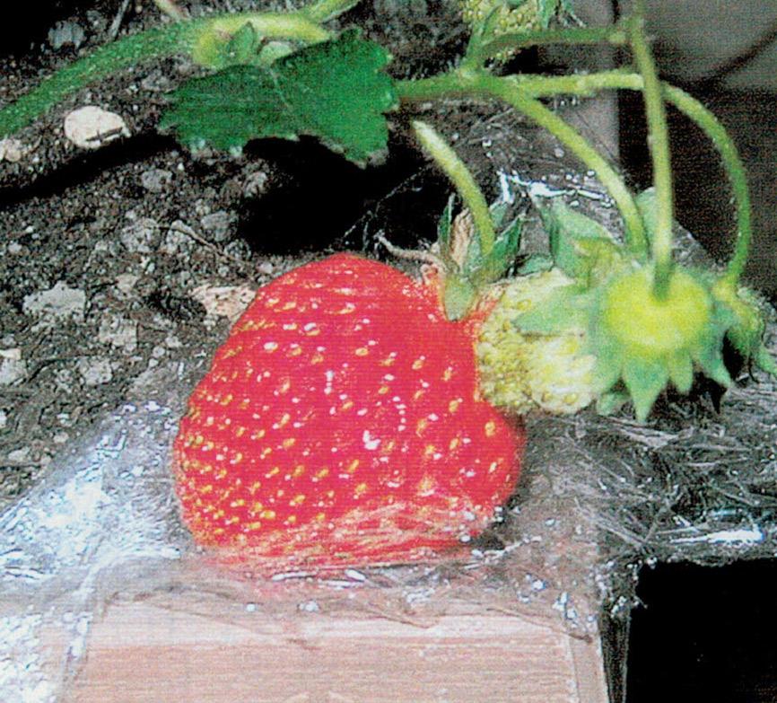 HB-101で出来たイチゴはとてもおいしいです。