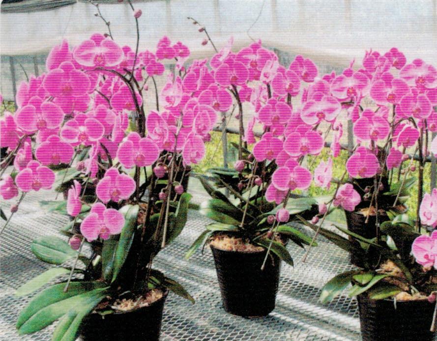 HB-101で花卉が厚く、花数の多い素晴らしい胡蝶蘭を生産する事が出来ます。農林水産大臣賞など5年連続で特別賞をいただいています。